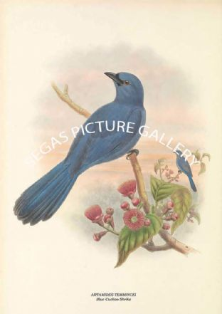 ARTAMIDES TEMMINCKI - Blue Cuckoo-Shrike
